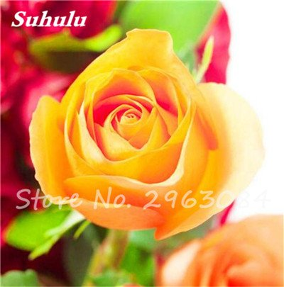 Livraison gratuite 100 pcs/sac Rose Graines, Graines de fleurs Rose, Graines Bonsai fleurs, parfum, plantes Faint de croissance naturelle pour jardin 3