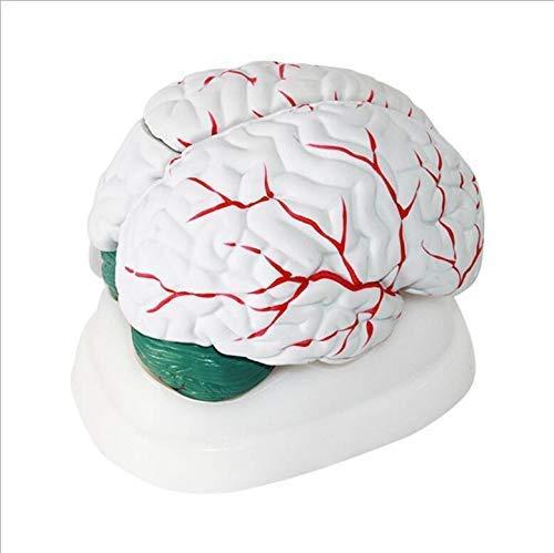 FMOGE Lebensgroße Menschliche Gehirnmodelle - 3 Teile Zeigen Lernressourcen Querschnitt Gehirnmodell, 1