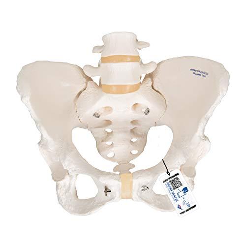 3B Scientific Menschliche Anatomie - Becken-Skelett, weiblich + kostenloser Anatomiesoftware - 3B Smart Anatomy, A61