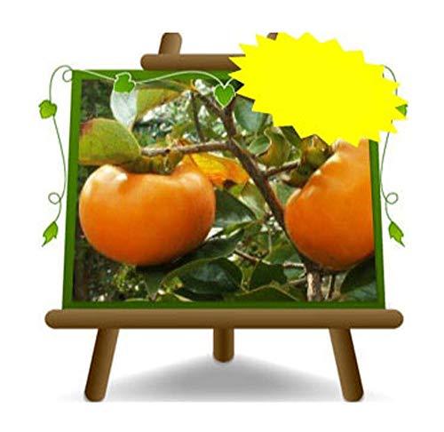 Kaki Apfel Sorte Jiro – Obstpflanze auf Rasentopf 26 – Baum max. 190 cm – 4 Jahre