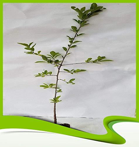 Prunus spinosa (Schlehdorn) – Pflanze