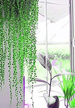 Vistaric 50Pcs Dichondra Repens Silver Falls Emerald Falls Graines succulentes dans des paniers Suspendus très créatives de Belles Plantes en Pot 7