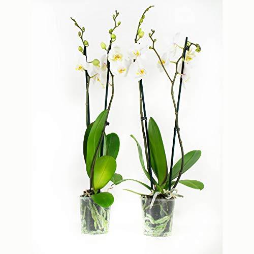 Orchidées de Botanicly – 2 × Orchidée papillon blanc – Hauteur: 60 cm, 2 pousses, fleurs blanches – Phalaenopsis Springtime