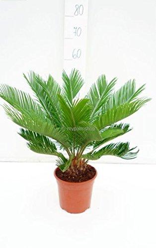 Pflanzenfuchs® Cycas revoluta- Japanische Kogelpalme- Gesamthöhe: 60-80cm Topf: Ø 18 cm