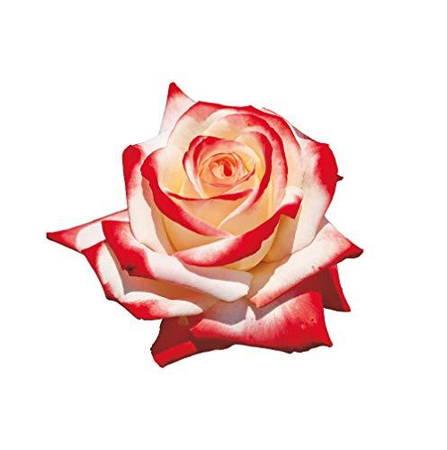 Imperatrice Farah®, rosaio vivo Rose Barni®, rosa in vaso colore bianco avorio e rosso linea prestigio, medaglia d'oro, ideale per coltivazione in vaso e cespugli, rifiorente e robusta cod.71133