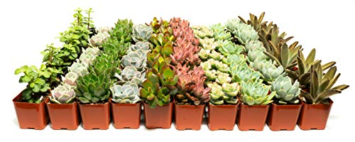 Jiimz 80 Lovely SUCCULENTS for WEDDING PARTY FAVORS