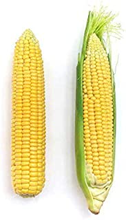 Park Seed Early Sunglow Hybrid Corn Seeds