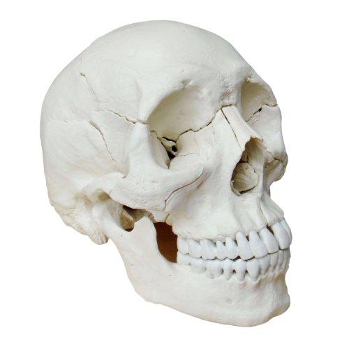 S24.2172 Modelo osteopático del cráneo humano de 22 piezas, versión color natural (cráneo modelo)