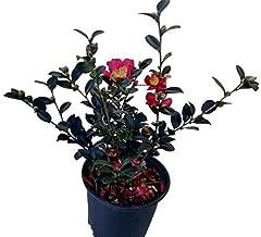 Best yuletide camellia full sun Reviews