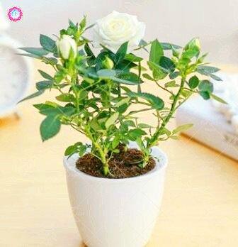 100 PCS Mini Rose Bonsai Miniature Rose Graines jardin Lumineux Belles fleurs en pot Graines vivaces Balcon Bonsai plantes 8