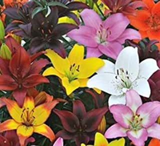 (3) Gorgeous Mixed Asiatic Lily Bulbs Flowering Perennial Year After Year