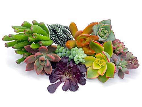 7 Live Succulent Cuttings, NO Roots on Plants, Succulents Plants Live, Great for Terrariums, Mini Garden Starter Plants by The Succulent Cult