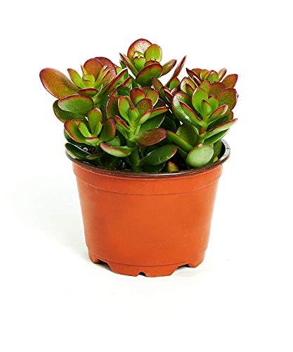 Shop Succulents | Crassula Ovata 'Jade Plant' Live...
