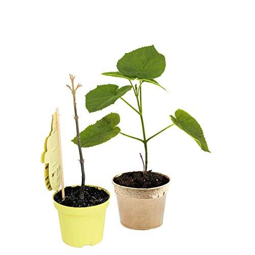 1 x Paulownia CO2 Klimabaum, Sorte NordMax21®, extrem schnellwüchsiger Schattenbaum + Wertholz auch Blauglockenbaum, Kiri-Baum, Kaiserbaum, bot. P. tomentosa x P. fortunei (15 cm-Topf)
