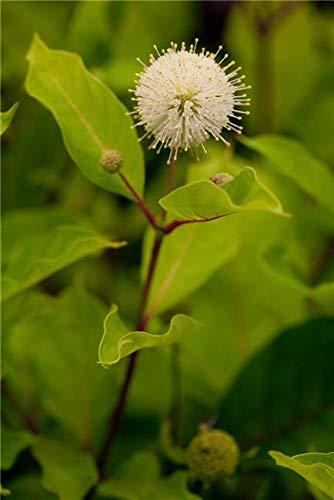 Kopfblume Knopfbusch 30-40cm -...