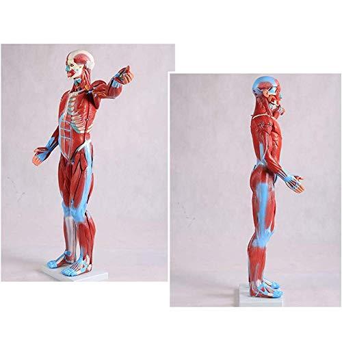 IUHUA Modelo anatómico de músculo Humano, Pecho de 80 cm, órganos internos Humanos, Modelo de Esqueleto anatómico en la enseñanza de los recursos de Aprendizaje