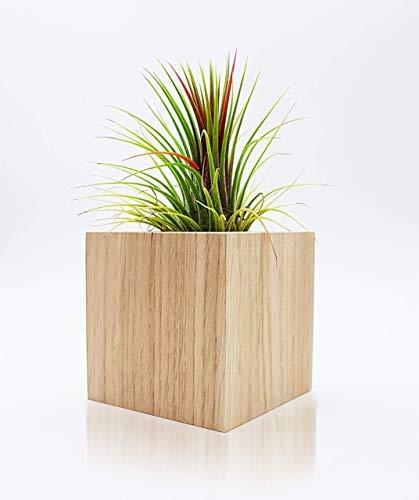 Tillandsien Pflanzen Mit Blumentopf Quadrat 8 cm | Handgemacht Holzwürfel Aus Eichenholz | Zimmerpflanze Rustikale Tischdeko | Luftpflanze Geschenk Set
