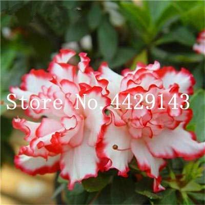 100 Pcs/bag Japanese azalea Bonsai,rhododendron azalea,azalea flower Bonsai tree plants DIY plant home garden Easy to Grow : 6