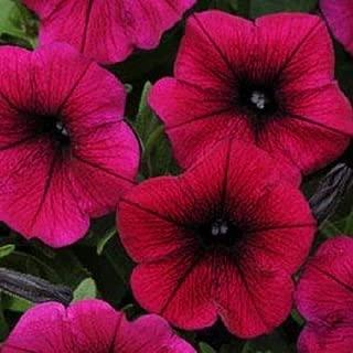 25 Seeds Shock Wave Deep Purple Pelleted Petunia #MRB01