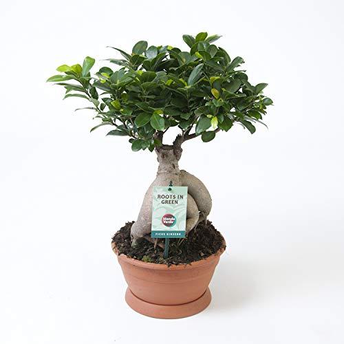 Planta de interior de Botanicly – Ficus bonsai – Altura: 50 cm – Ficus Gin Seng