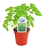 Basil-Dolce Fresca Live Plant (Pack of 1)