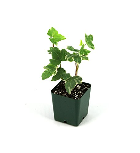 Hedera Helix 'English Ivy' (Grower's Choice)