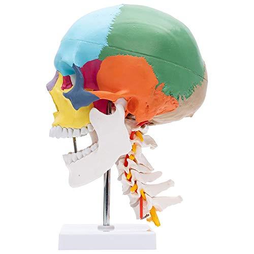 Modèle d'os de tête Anatomique de Squelette Humain, Taille réelle 1: 1 Réplique de modèle de crâne en PVC pour enseigner/Apprendre Les Bases de l'anatomie Humaine