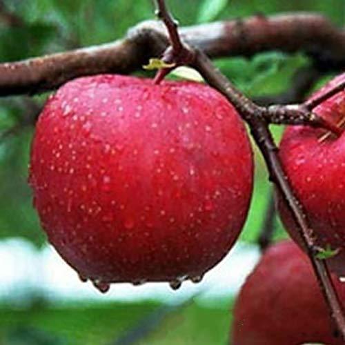 TOYHEART 10 Piezas De Semillas De Frutas De Primera Calidad, Semillas De Manzanas Llenas De Vitaminas Semillas De Manzanas De Carne Roja Raras Dulces Ecológicas Para La Granja Semillas de manzana