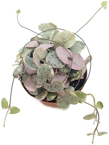 Ceropegia woodii f. variegata gestreifte Leuchterblume - sehr pflegeleichte, hängende Zimmerpflanze - verschönern Sie Ihr zu Hause