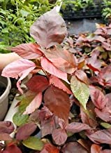 acalypha louisiana red