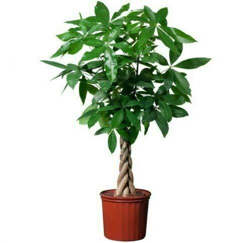 10pcs Bonsai Pachira Aquatica Macrocarpa Samen Money Tree Seed Schöne Gesundheit Pflanzen für Haus