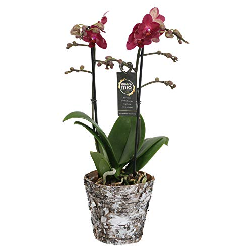 Orchidea da Botanicly – Orchidea farfalla in vaso in vero legno come set – Altezza: 45 cm, 2 germogli, Fiori rossi – Phalaenopsis Red Lion