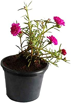 Pink Flower Charming Ornamental Plant With Pot