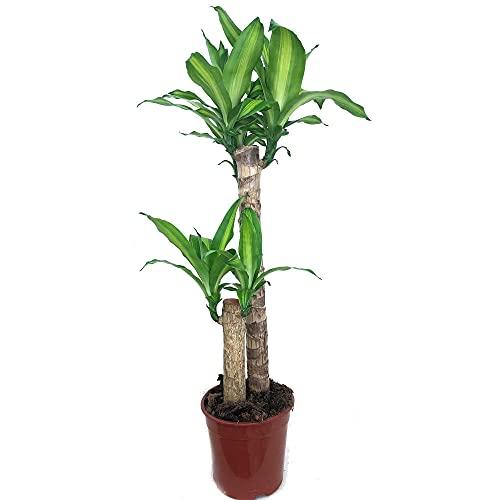 Planta de interior Tronco de Brasil 2 troncos Natural 90cm para interior de hogar bicolor Dracena Masageana