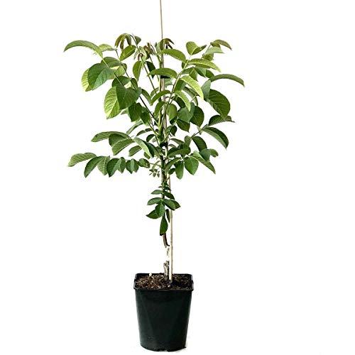 Müllers Grüner Garten Shop Zwerg Walnussbaum Mini Multiflora Nr. 9 veredelte Walnuss kleinbleibend ca. 20-40 cm 7,5 L Topf