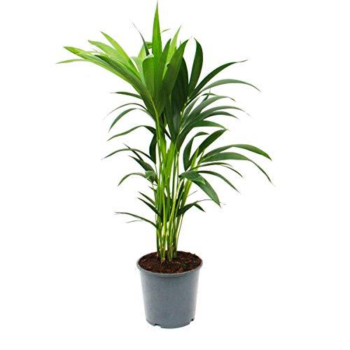 Kentia Palm, Howea forsteriana, 19cm, approx. 80cm high