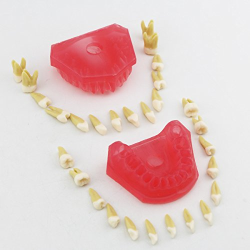 Dentalmall® 1 Pc Dental Demonstration teeth Model - Standard Study Teaching dental mode with all Removable Teeth #4004 01