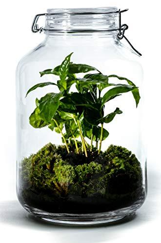 Growing Concepts DIY Nachhaltiges Ökosystem Flaschengarten Einmachglas 5L - Coffea Arabica - H28xØ18cm