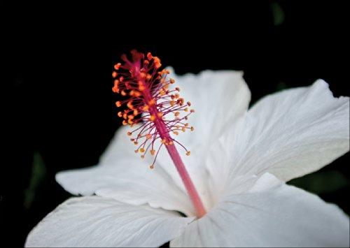 Elegante wenskaart met macro hibiscus als verjaardagskaart, voor jubileum of als cadeaukaart • ook voor directe verzending met de tekst inlegger • om voor een verjaardag te feliciteren met envelop zakelijk & privé
