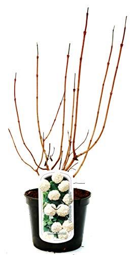 Gemeiner Schneeball Viburnum opulus im Topf gewachsen ca. 60-100cm