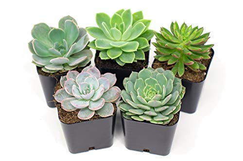 Succulent Plants | 5 Echeveria Succulents | Rooted in Planter Pots with Soil | Real Live Indoor...