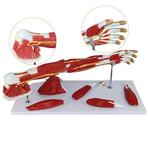 FHUILI Obere Extremität Muskel Anatomisches Modell - Gefäßnerven Arm Menschliches Anatomie-Wissenschafts-Modelle - Medizin Anatomische Arm Modell - für Medizinische Ausbildung Ausbildungshilfe
