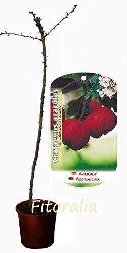 Acerolo - Árbol frutal ecológico de 2 años