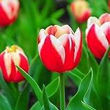 Adolenb Seeds House- 100pcs graines de tulipes, graines de fleurs de jardin de rareté ampoule bulbe coloré graines de fleurs tulipes jardin de fleurs ornementales