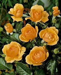 'Amber Queen' -R-, Beetrose in A-Qualität Wurzelware