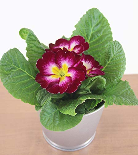 Isenzo Lebende Topfpflanze Primel (Primula) WEINROT Blühpflanze Frühlingsblume Blume im Topf Zimmerpflanze Gartenpflanze Terrasse