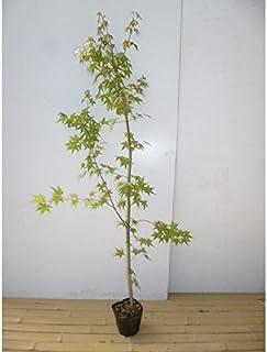 【5本セット】 イロハモミジ 樹高1.0m前後 12cmポット (いろは紅葉 イロハカエデ いろは楓 紅葉 モミジ) 苗木 植木 苗 庭木 生け垣 5本 5