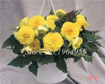Shopmeeko Graines: Livraison gratuite 100 pcs/sac Decoratie Belle Begonia fleur en pot Bonsai jardin mur usine Décoration pour l'arbre de Noël: 2
