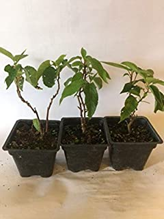 3 Hardy Kiwi Plants- 2 Ken's Red, and One Male Pollinater--all in 4 Inch Cups/ Kiwi Aruguta-- Awesome, Healthy Starter Plants!