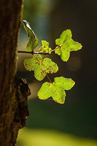 Acer Monspessulanum Montpellier Maple